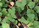 Hayhurst's Scallopwing - Staphylus hayhurstii