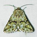 Toadflax brocade moth - Calophasia lunula