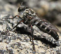 Robber Fly  - Lestomyia