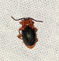 Beetle sp. - Aphorista laeta