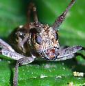 Longhorned Beetle - Monochamus carolinensis