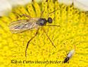 9036179 fly - Rhamphomyia
