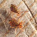 Ptenothrix marmorata - Dicyrtomina minuta