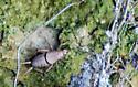 Cricket on Cliff - Cycloptilum - male