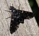 Bee Fly - Xenox tigrinus