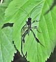 Pelecinus polyturator - female