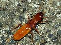 Pacific Coast Dampwood Termite - Zootermopsis angusticollis