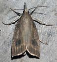 UID Moth - Chilo erianthalis