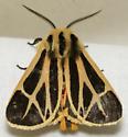 tiger moth - Apantesis