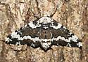 Oak beauty - Phaeoura quernaria - female