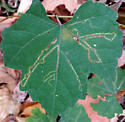 Phyllocnistis on Vitis sp. - Phyllocnistis vitifoliella