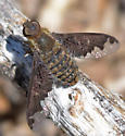 Sinuous Bee Fly - Hemipenthes sinuosa - Hemipenthes sinuosa