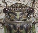 Dog-Day Cicada - Neotibicen canicularis - male