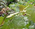 mantis sp. - Stagmomantis carolina - female