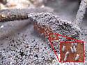 Water Springtails - Hypogastrura