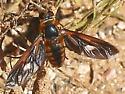 Bee Fly, auburn & black, fairly big - Poecilanthrax effrenus