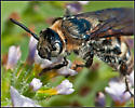 Campsomeris plumipes - Dielis plumipes - female