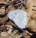 End of season sulphur - Phoebis agarithe - female