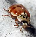 Cream-Streaked Lady Beetle  - Harmonia quadripunctata