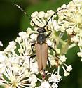Flower Longhorn - Brachyleptura rubrica