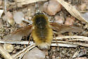 Bee fly probably Anaschoesus with white face and tail  - Anastoechus