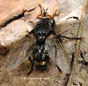 Perhaps Tachinomyia sp. - male