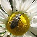 Pack Cerambycdae 7.11.09 01 - Lepturopsis dolorosa