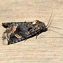 Homophoberia apicosa