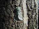 unknown lichen mimic moth - Feralia major