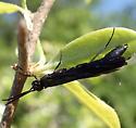 sawfly - Hartigia