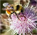 Bee on a thistle flower - Bombus huntii - male