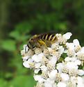 Hymenoptera 8-02-09 02a - Halictus farinosus - female