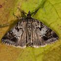 Unknown Moth - Gesneria centuriella