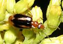 Ground beetle - Lebia solea