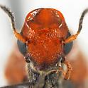 Macrosiagon - female
