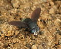 Unidentified Diptera - Belvosia