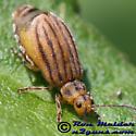 Leaf Beetle - Ophraella sexvittata - female