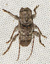 beetle061517a - Ecyrus dasycerus
