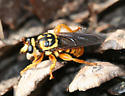 Bee-like Robber Fly - Laphria saffrana