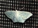 8/27 moth 2 - Idaea tacturata
