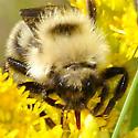 Bombus queen on Goldenrod - Bombus fernaldae - female
