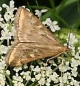 Moth help needed - Loxostege munroealis
