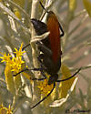 Spider Wasp - Calopompilus pyrrhomelas