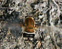 Bomber Fly--abdominal pattern - Heterostylum robustum - female