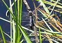 Dragonfly - Libellula incesta - male - female