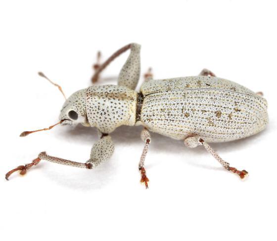 Pandeleteius nodifer Champion - Pandeleteius nodifer