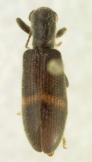 Bogcia obliquefasciatus (Schaeffer) - Cymatodera obliquefasciata