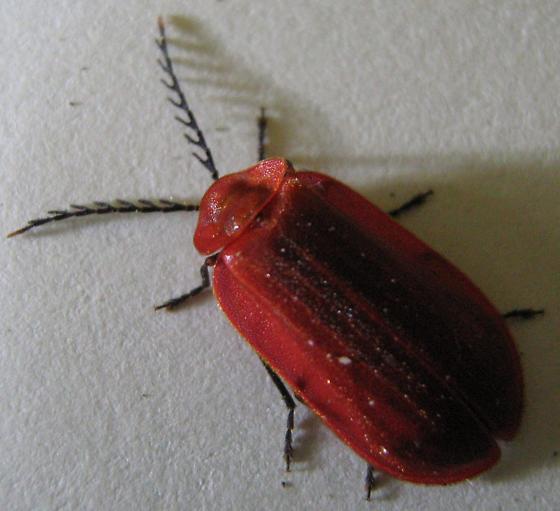 Is this Lycidae or Phengodidae or Lampyridae or Omethidae?  Or am I WAY off.... - Matheteus theveneti - male