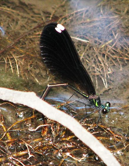 Ovipositing - Calopteryx maculata - female