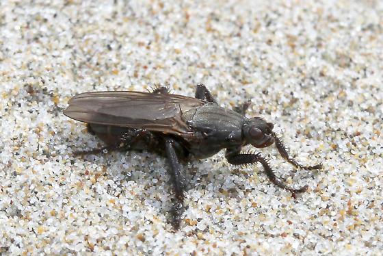 Fly? on the beach - Coelopa vanduzeei